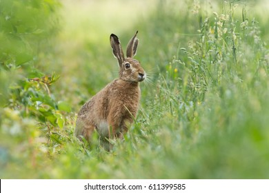 European hare sitting in a meadow