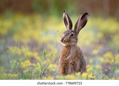 European hare stands in the grass and looking at the camera.