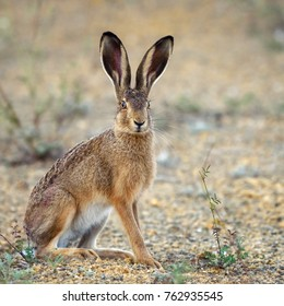 European hare stands on the ground and looking at the camera (Lepus europaeus).