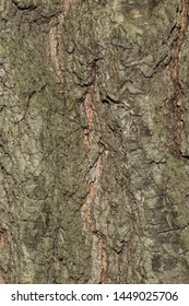 A European Harvestman, colloquially known as a Daddy Long Legs, is perfectly camouflaged by the bark of a tree hiding it from both predators and prey. Taylor Creek Park, Toronto, Ontario, Canada.