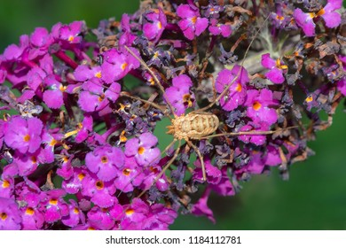 European Harvestman resting on a Butterfly Bush flower. More commonly known as a daddy Long Legs. Rosetta McClain Gardens, Toronto, Ontario, Canada.