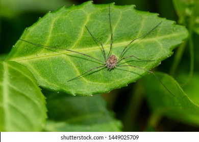 A European Harvestman which is missing one leg is resting on a green leaf. colloquially known as a Daddy Long Legs. High Park, Toronto, Ontario, Canada.