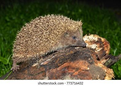 European hedgehog, Erinaceus concolor