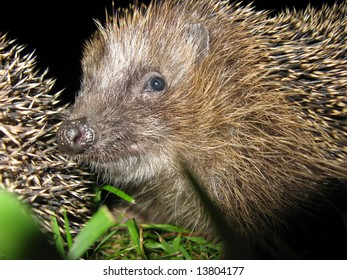 The European Hedgehog (Erinaceus europaeus), Common hedgehog or just Hedgehog in the Anglophone parts of Europe, is a hedgehog species found in northern and western Europe.