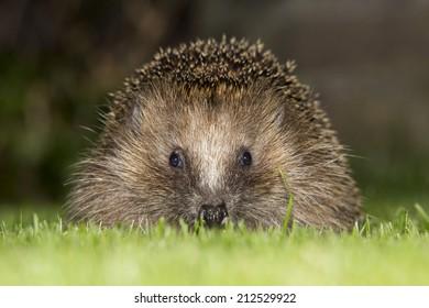 European hedgehog (Erinaceus europaeus) in the evening - Baarn, the Netherlands