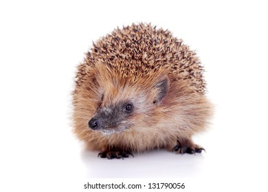 European hedgehog (Erinaceus europaeus) isolated on thw white background