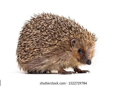European hedgehog, Erinaceus europaeus, also known as the West European hedgehog or common hedgehog, in front of white background