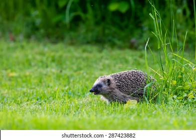 The European hedgehog (Erinaceus europaeus: Linnaeus, 1758). It is a favourite in European gardens, both for its endearing appearance and its preference for eating a range of garden pests.