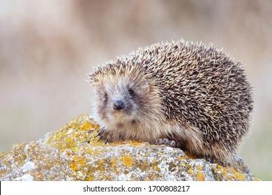 European hedgehog, Erinaceus europaeus in its natural habitat.