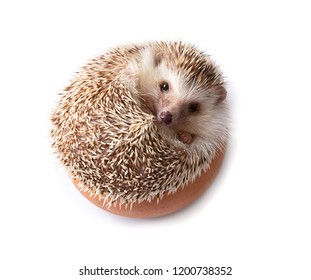 European Hedgehog isolated on white background.