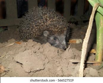 European hedgehog searching food in the garden. (Erinaceus europaeus)