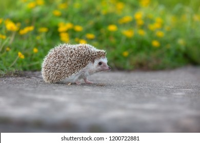 European Hedgehog walk on concrete road with the flower garden background , very pretty face and two front paws.