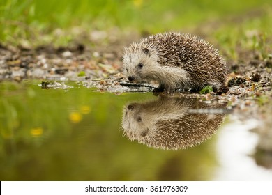 European hedgehog and the water in the forest