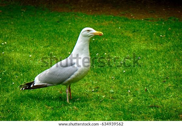 European herring gull, Dublin, Ireland
