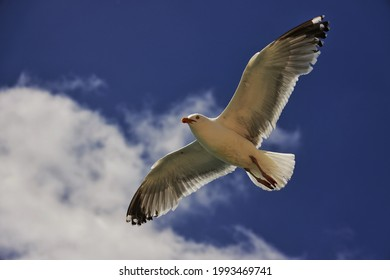 European herring gull flying in the sky.The European herring gull (Larus argentatus) is a large gull. One of the best-known of all gulls along the shores of Western Europe