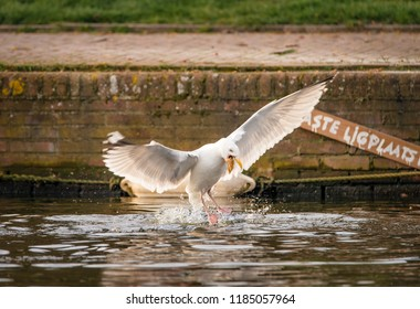 European Herring Gull grabs a piece of bread thrown into a canal in Amsterdam, the Netherlands. Sign in the background reads: vaste ligplaats, which is Dutch for: reserved (boat) parking space