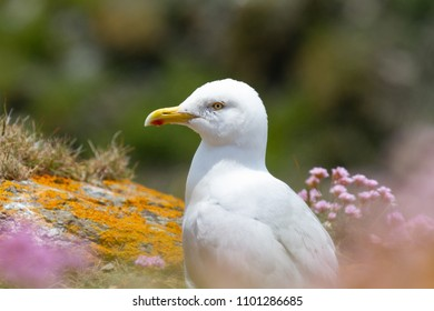European herring gull (Larus argentatus) perched on Cornish Cliff, UK