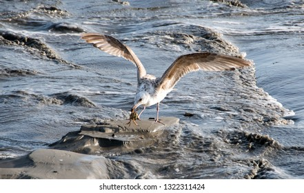 European herring gull (Larus argentatus) feeding on fish on the coast of Langeoog, dune beach landscape on the North Sea island in Germany, vacation in Europe.