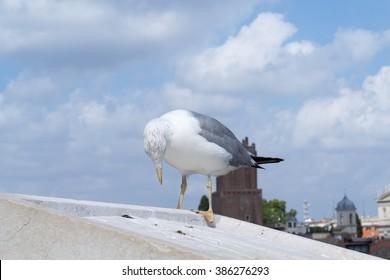 European herring gull (Larus argentatus) pecks the roof of european style house in Rome, Italy