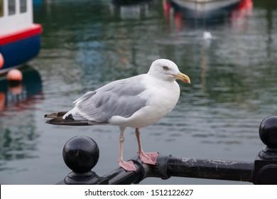 European herring gull latin name Larus argentatus in Mevagissey harbour Cornwall