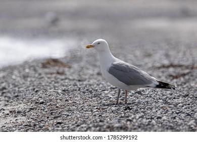 European herring gull (Seagull) stands on stony beach looking towards the sea