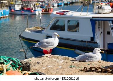 European herring gulls latin name Larus argentatus in Mevagissey harbour Cornwall