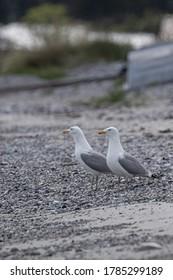 European herring gulls (Seagulls) stands on stony beach looking towards the sea
