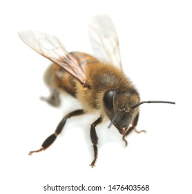 European honey bee, apis mellifera isolated on white background. This insect is an important pollinator