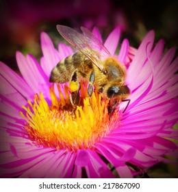 The European honey bee (Apis mellifera) pollinating of The Aster (Symphyotrichum dumosum).