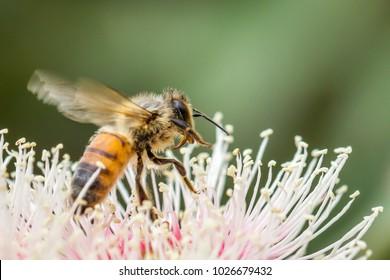 European Honey Bee Feeding from Eucalyptus Flowers, Australia, February 2018