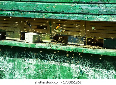 The European honey bee the most important animal for man and nature
