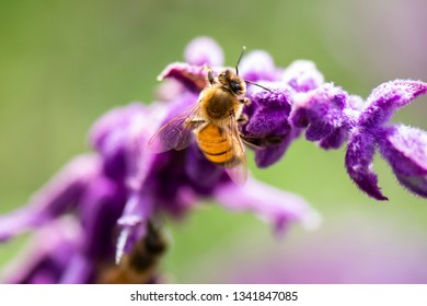 European honey bee outside in nature during the day