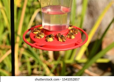 European honey bee(Apis mellifera) Gathering sugar water from a hummingbird feeder macro.