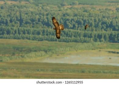 European honey buzzard & Eurasian hobby / Pernis apivorus &Falco subbuteo