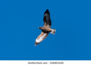 European Honey Buzzard, Pernis Apivorus, in flight with spread wings when migration by fall season in Sweden