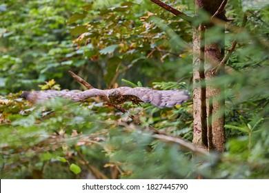 European honey buzzard, Pernis apivorus, migratory bird of prey,  flying in green spruce forest of  Sumava national park, Czech republic.