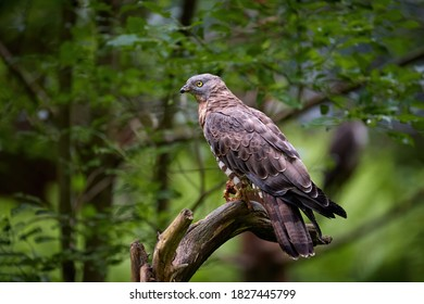 European honey buzzard, Pernis apivorus, migratory bird of prey, sitting on a branch, isolated on blurred green forest background.   Czech republic.