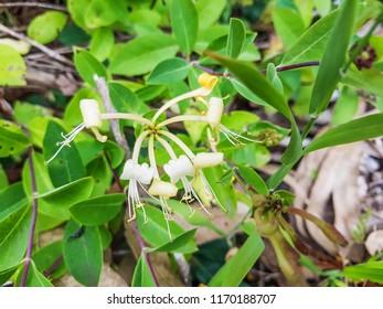 European honeysuckle or woodbine, Lonicera periclymenum, growing in Galicia, Spain