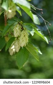 European hop hornbeam - Latin name - Ostrya carpinifolia