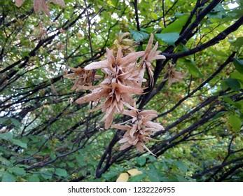 European Hornbeam (Carpinus betulus) seed catkins.