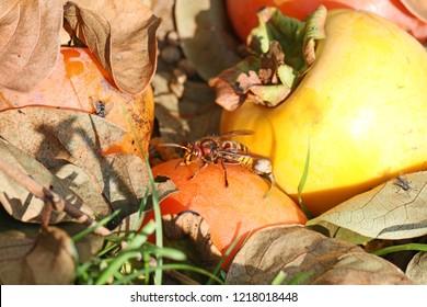 European hornet Latin vespa crabro also called calabrone feeding on a persimon or persimmon fruit Latin diospyros kaki in autumn or fall in Italy