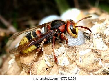 European hornet (Vespa crabro) busy building a hornet's nest.