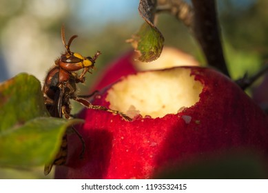 A european Hornet (Vespa crabro germana) having a break cleaning itself after enjoying the sweet, juicy flesh of ripe apples.