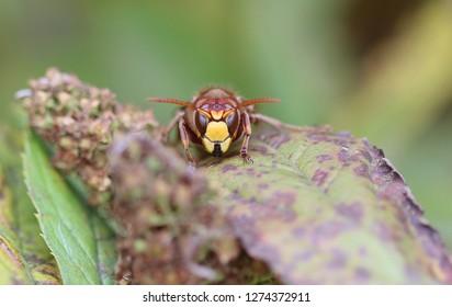 European hornet - Wasps