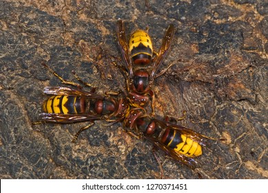 European hornets (Vespa crabro germana) feeding at sap well on oak tree, in Virginia, USA. Small amounts of sap ooze from bark, attracting nectar-loving insects such as these hornets.