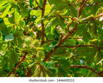 European horse-chestnut (Aesculus hippocastanum) - horse-chestnut with spines on the peel, with leaves lit by the sun