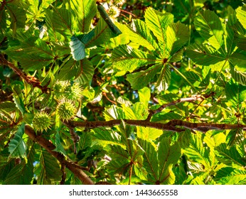 European horse-chestnut (Aesculus hippocastanum) - young horse-chestnut with spines on the peel, with leaves lit by the sun