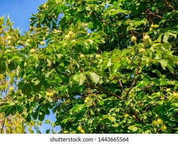 European horse-chestnut (Aesculus hippocastanum) - young horse-chestnut with spines on the peel, on the branches of a tree