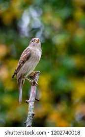 European House Sparrow (Passer domesticus) perched on branch with autumnal background, United Kingdom