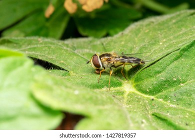 European hoverfly (lat. Eristalis pertinax)  on the green leaf